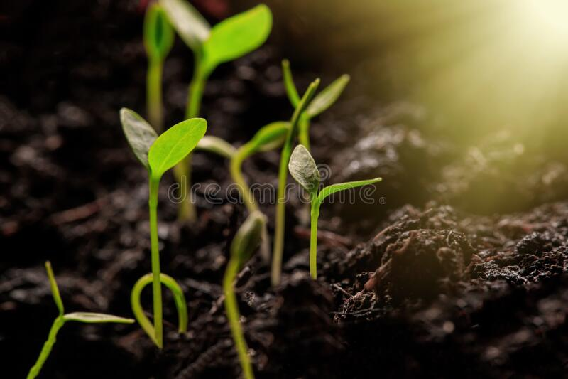 Молодые Растения При Свете саженцы растут от богатой почвы до утреннего солнечного света, который светит стоковое изображение