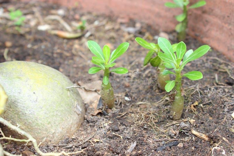 Молодые саженцы Obesum Adenium стоковое фото rf