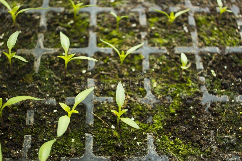 Молодые цветки ростков пускали ростии в подносе для взгляд сверху саженцев стоковая фотография