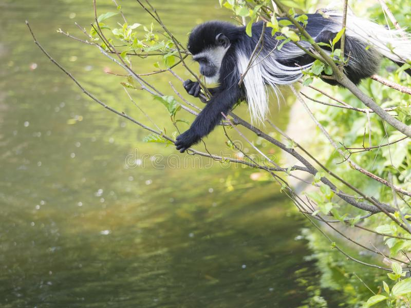 Молодым Mantled младенцем обезьяна guereza также назвала guereza Colobus есть листья дерева, взбираясь ветвь дерева над водой стоковое изображение rf