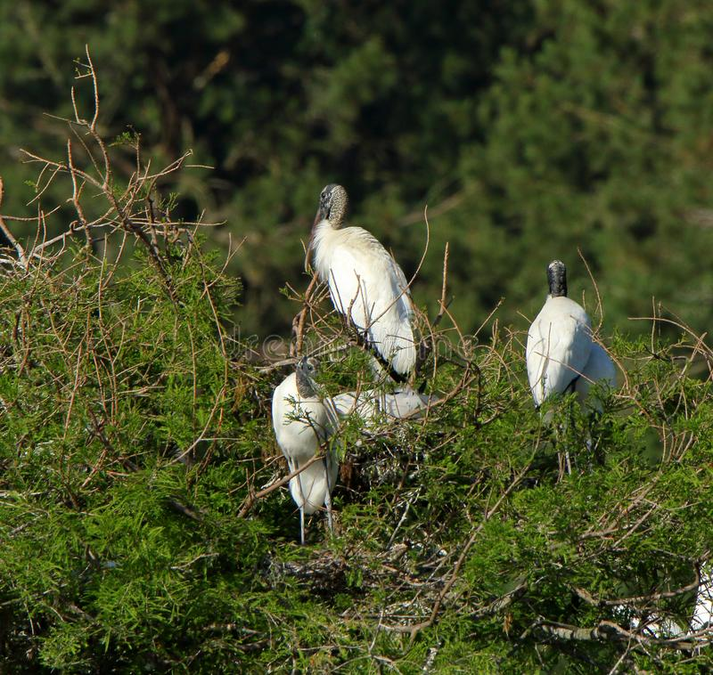 3 молодых аиста roosting дальше и остров стоковая фотография