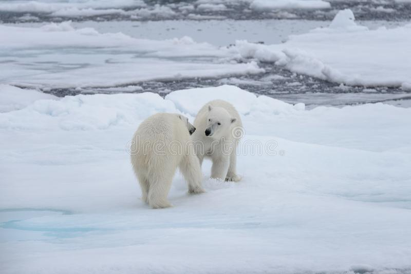 2 молодых диких полярного медведя играя на паковом льде стоковые изображения