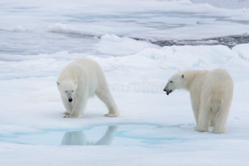 2 молодых диких полярного медведя играя на паковом льде стоковое фото