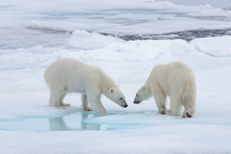 2 молодых диких полярного медведя играя на паковом льде стоковое изображение