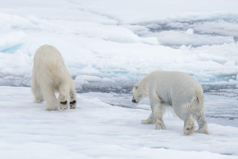 2 молодых диких полярного медведя играя на паковом льде стоковое изображение rf