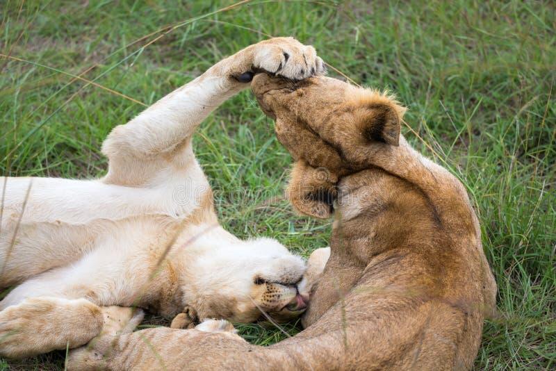 2 молодых льва играют совместно в траве стоковые изображения rf
