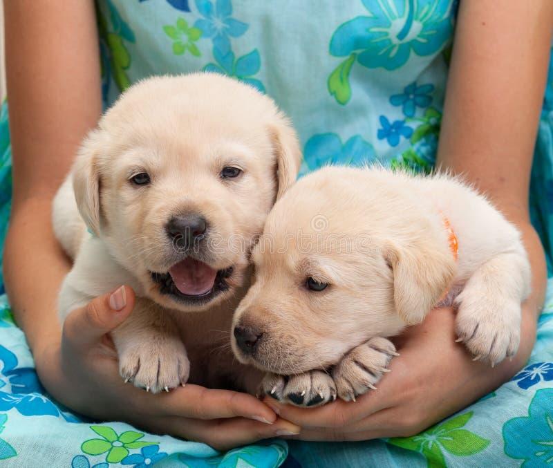 2 молодых щенят labrador в руках девушки стоковая фотография rf