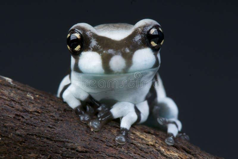 молоко лягушки Амазонкы стоковое изображение