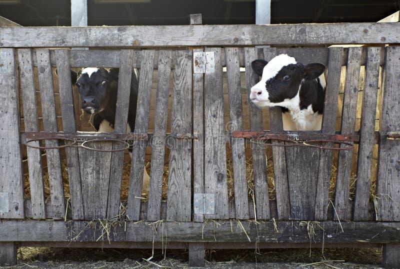 молоко фермы коровы земледелия bovine стоковые изображения rf