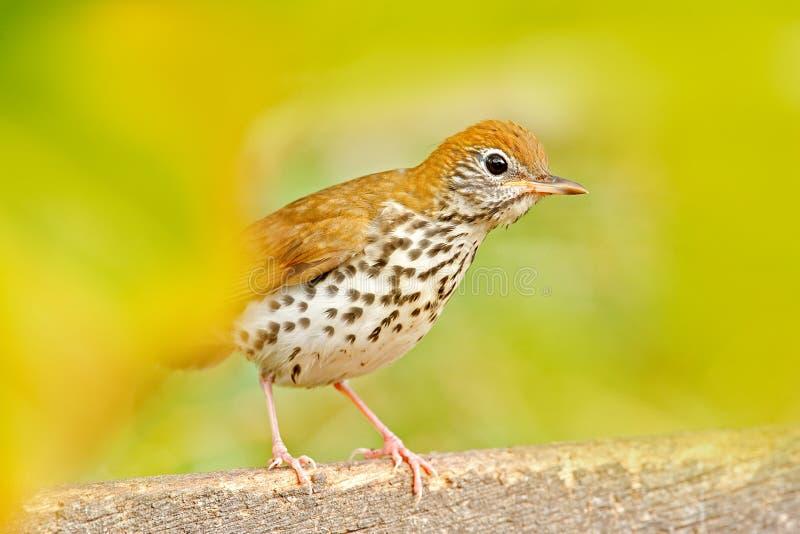 Молочница песни деревянная, mustelina Hylocichla, в среду обитания природы молодая птица сидя на ветви дерева Птица в лете Белизе стоковое фото