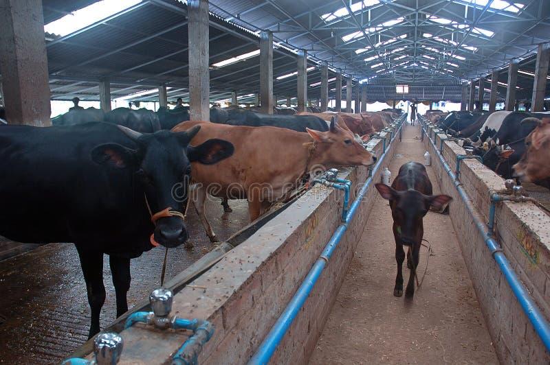 Молочное животноводство в Индии стоковое изображение