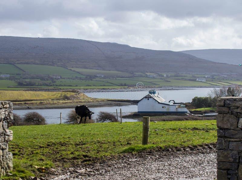 Молочное животноводство на Flaggy береге, Ирландии стоковое фото rf