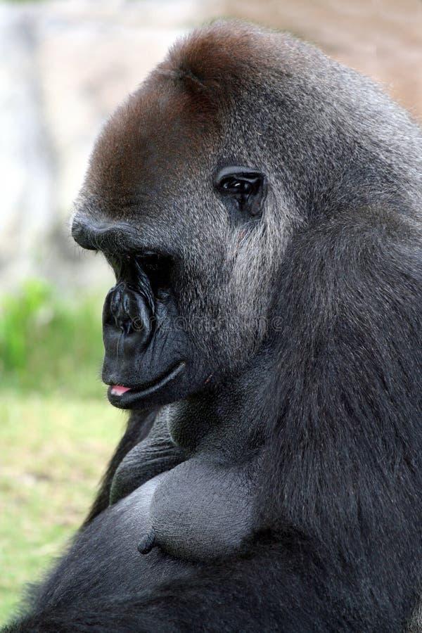 Моля горилла стоковое изображение
