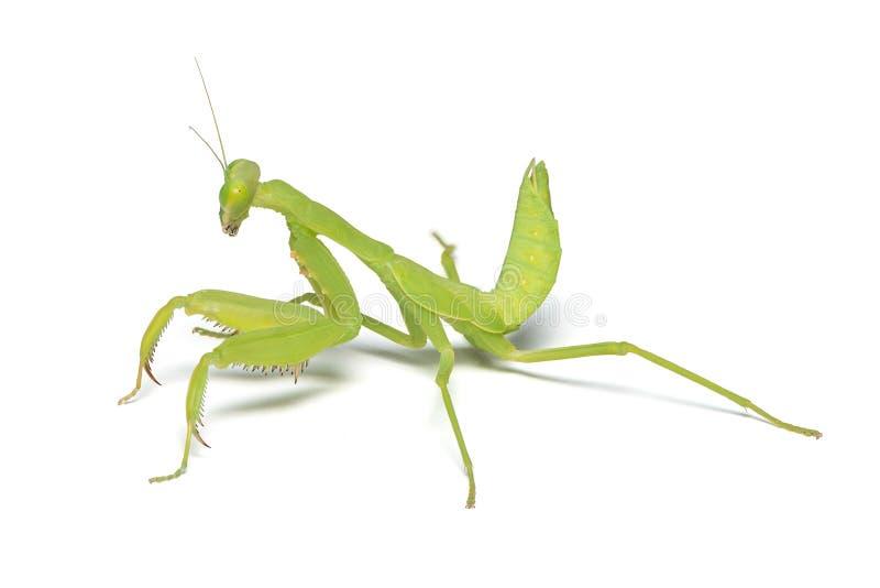 Моля mantis изолированный на белой предпосылке стоковое изображение rf