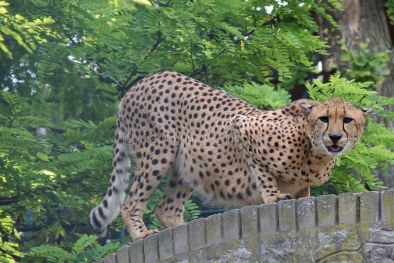 Момент красивого гепарда ждать правый для охотиться ее еда стоковые фотографии rf