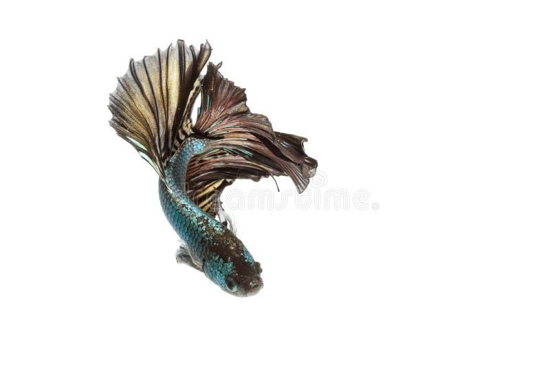 Момент рыб Betta moving сиамских воюя рыб стоковое фото