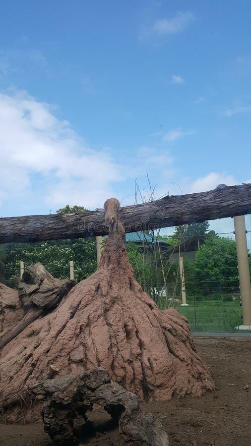 Момент Meerkat стоковое фото