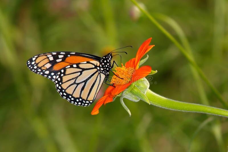 монарх бабочки стоковая фотография