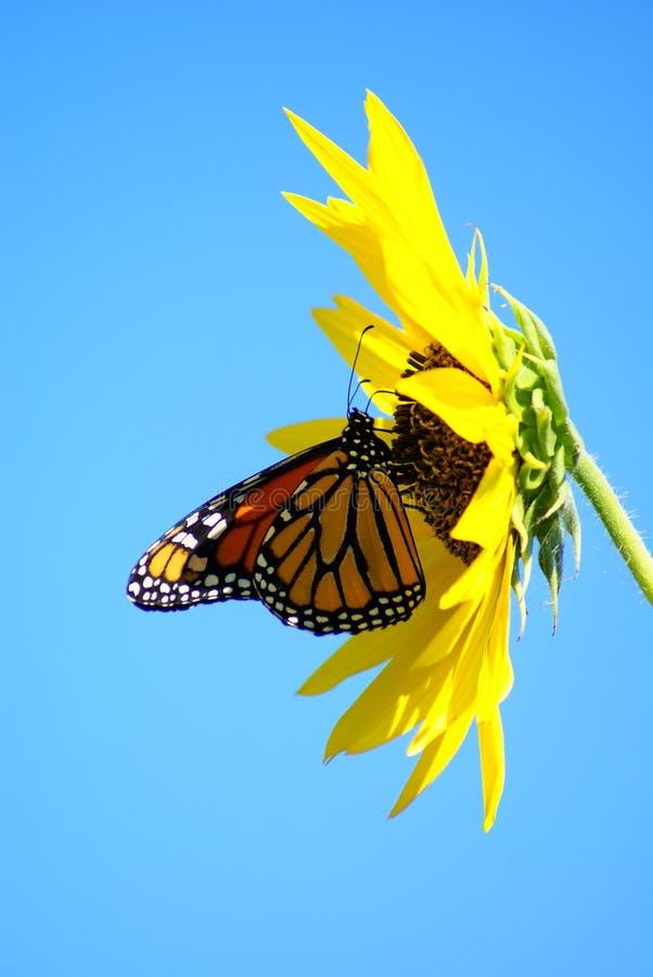 монарх бабочки стоковое фото rf