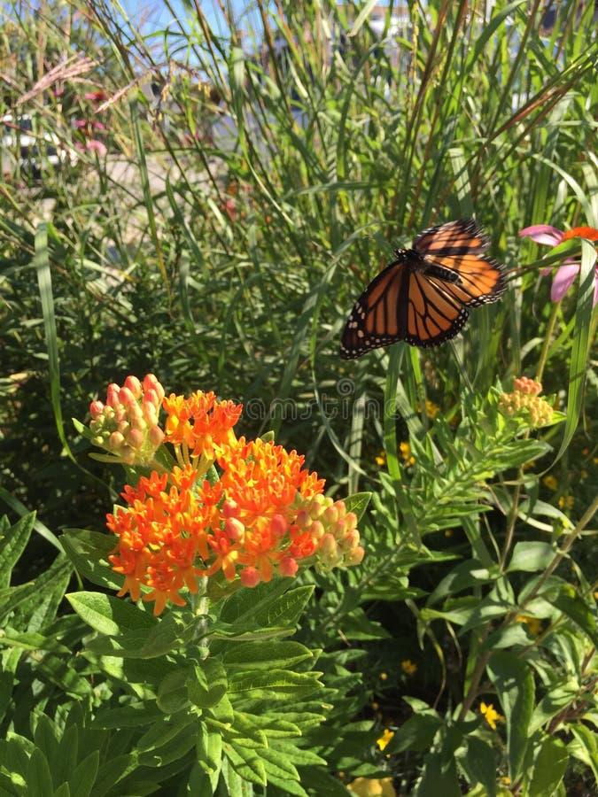 Монарх над засорителем бабочки стоковое изображение rf