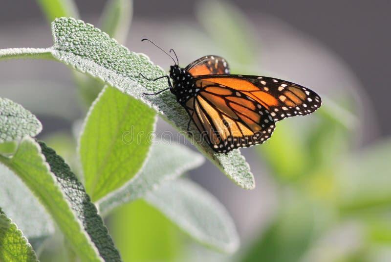 Монарх на лист стоковая фотография