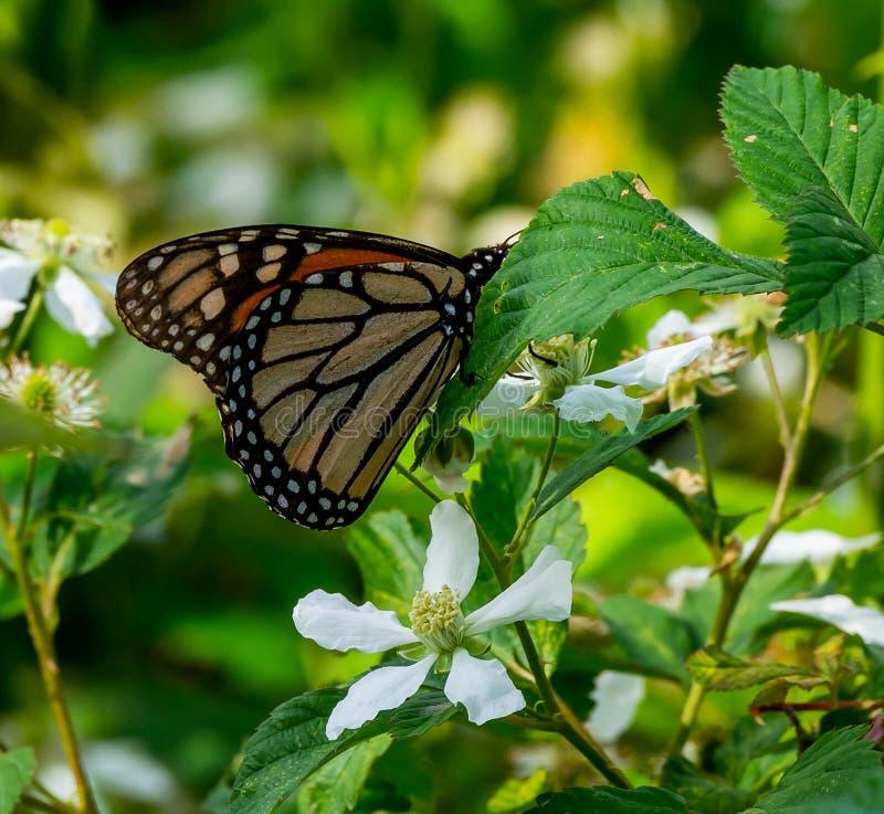 Монарх на полевом цветке стоковые изображения