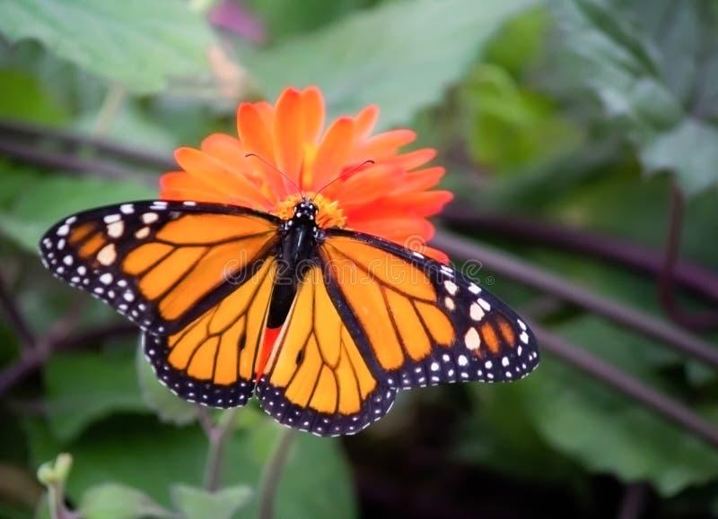 Монарх на цветке стоковое изображение