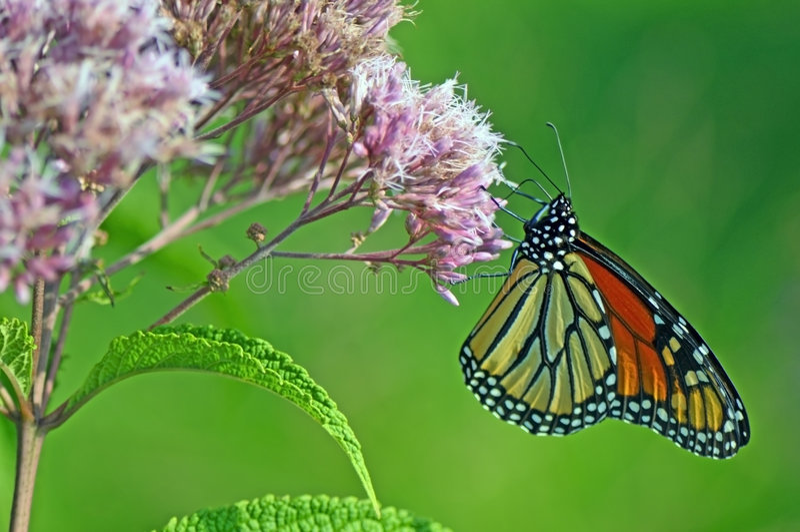 монарх цветка бабочек стоковое фото rf