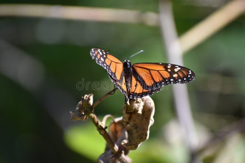 монарх стоковые изображения