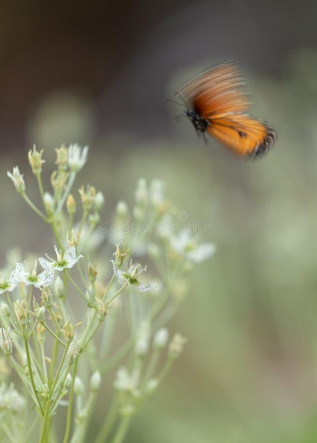 Монарх butterly с нерезкостью движения над цветками стоковые изображения