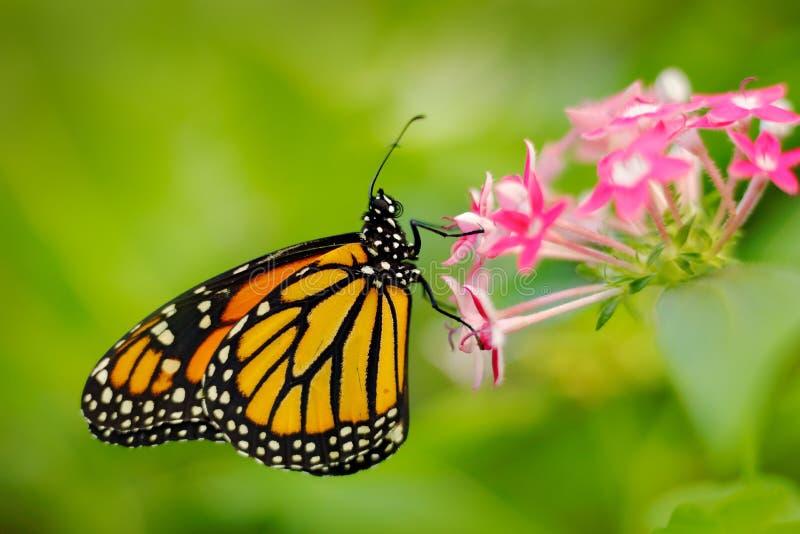 Монарх, plexippus Даная, бабочка в среду обитания природы Славное насекомое от Мексики Бабочка в зеленом розовом конце детали лес стоковое изображение