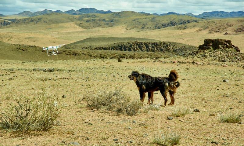 Монгольские собаки и трутень летая стоковое изображение rf