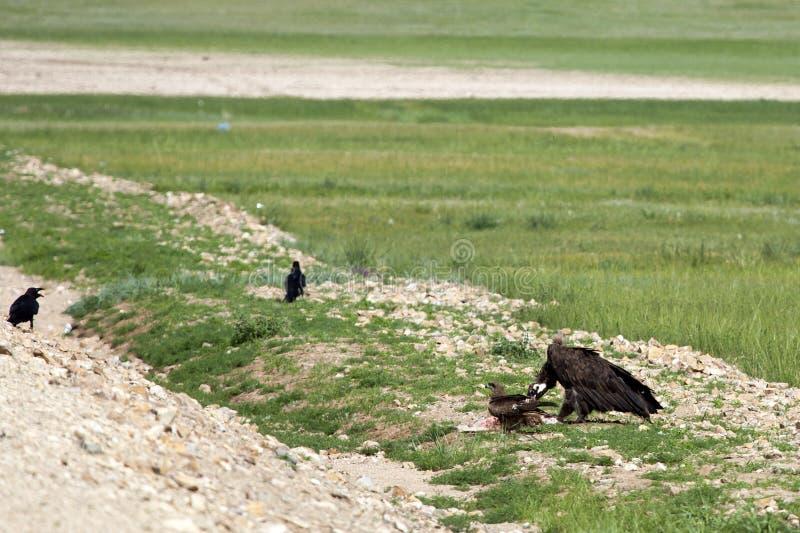 Монгольская еда Roadkill хищника стоковая фотография