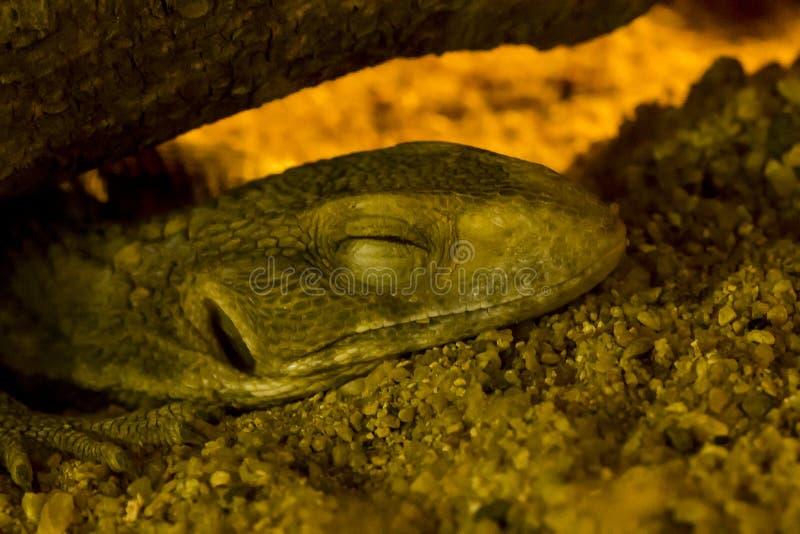 Монитор саванны спать на песке стоковое изображение