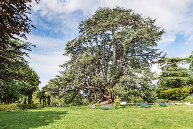 Монументальное дерево кедра libani Cedrus Ливана Скверы или Estensi садовничают, центр города Варезе, Италии стоковые изображения