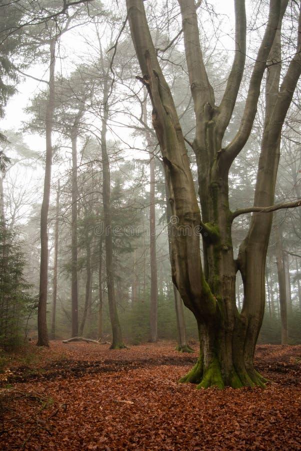 Монументальный стержень дерева бука в древесинах стоковые фото