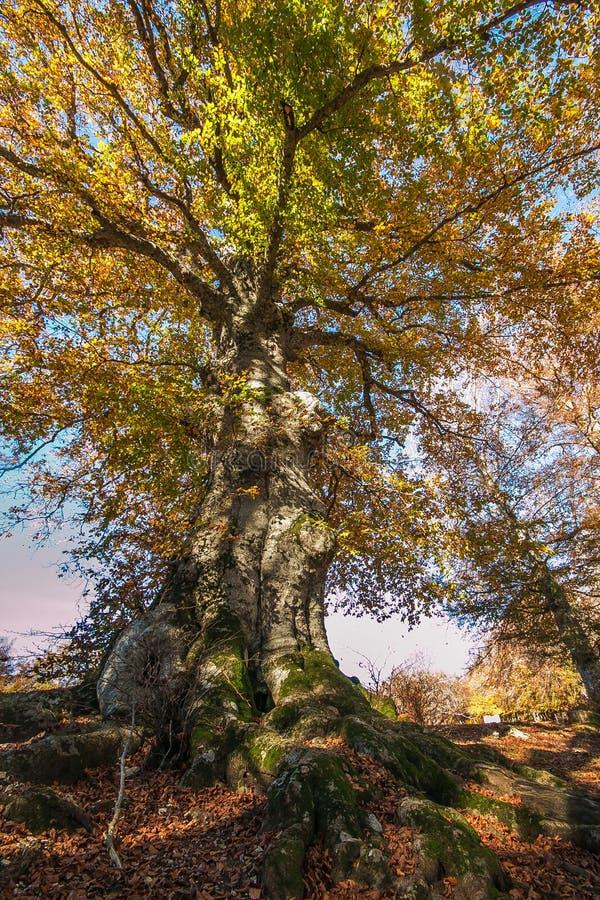 Монументальный бук на природном заповеднике Canfaito стоковые фото