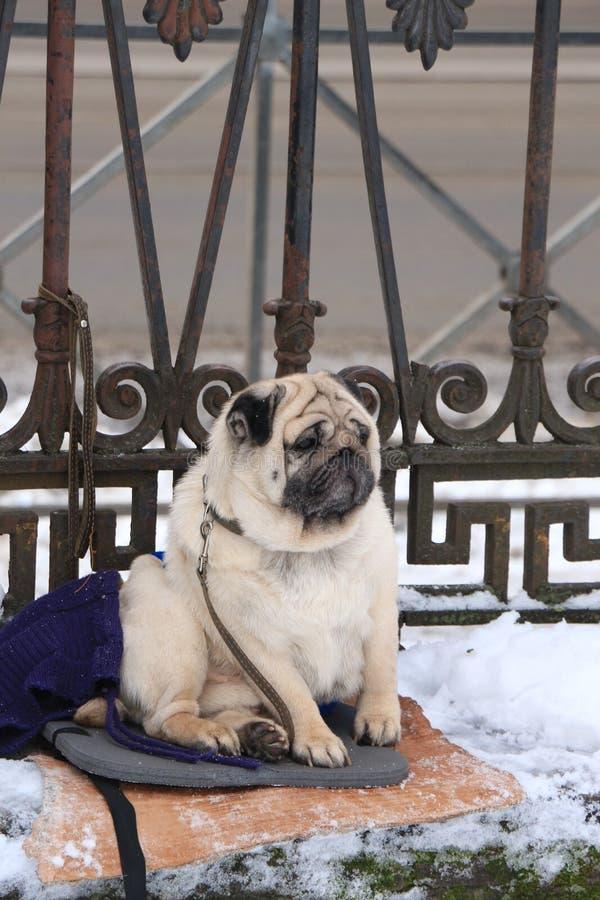 Мопс ждать его мастера стоковая фотография