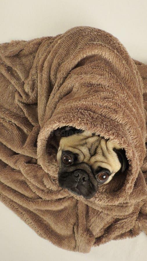 Мопс обернутый в одеяле стоковая фотография