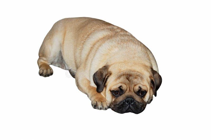 Мопс-собака на белизне стоковые изображения