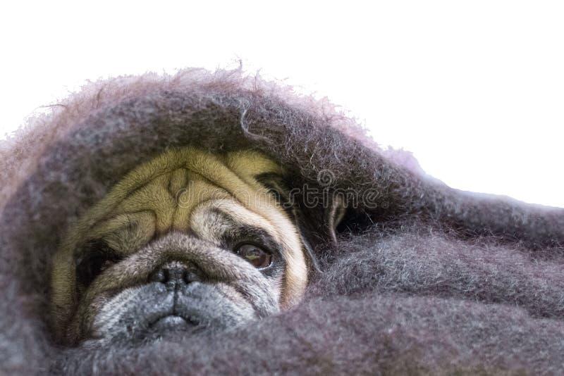 Мопс с грустным взглядом, в оболочке в шали белизна изолированная предпосылкой скопируйте космос Одеяло шали собаки покрытое для  стоковые изображения rf