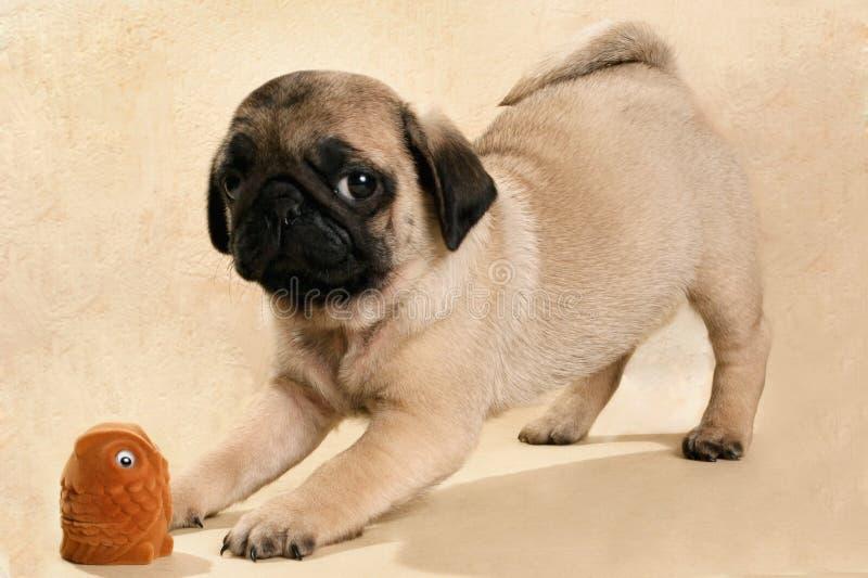 Мопс щенка с его игрушкой стоковая фотография