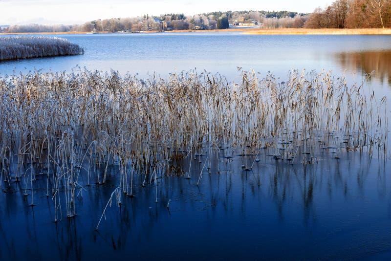 Море в тонких льде и изморози покрыло тростники стоковые изображения