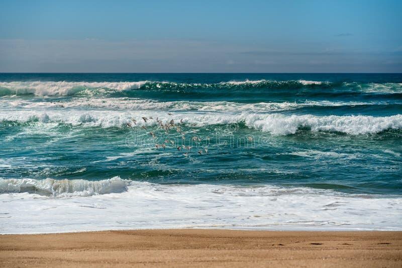 Море и стадо птиц ржанки стоковые изображения