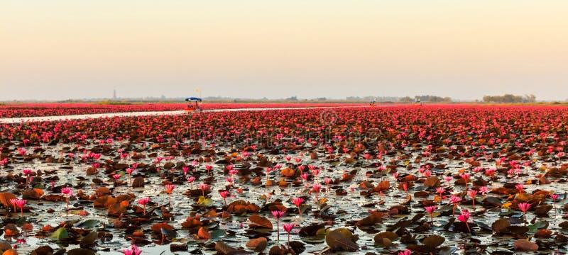 Море красного лотоса стоковые изображения