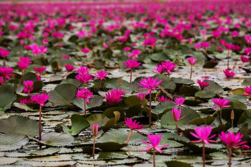 Море лотоса болота красное красного лотоса Таиланда стоковые изображения