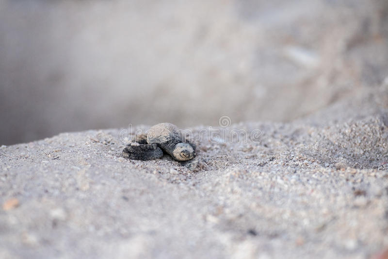 Море Newborn черепахи golfina зеленого цвета младенца причаливая стоковое фото rf