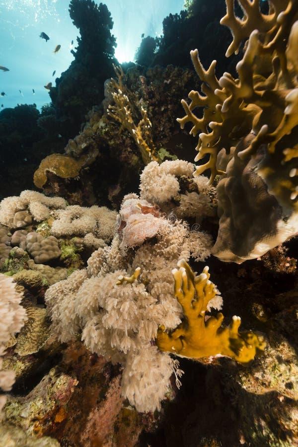 море scorpionfish дьявола красное стоковое изображение