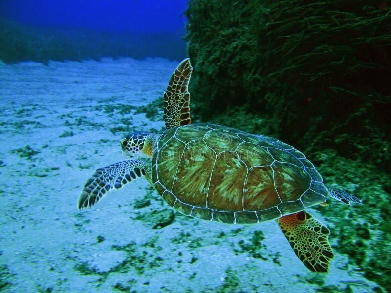 Море Tertles стоковое изображение rf