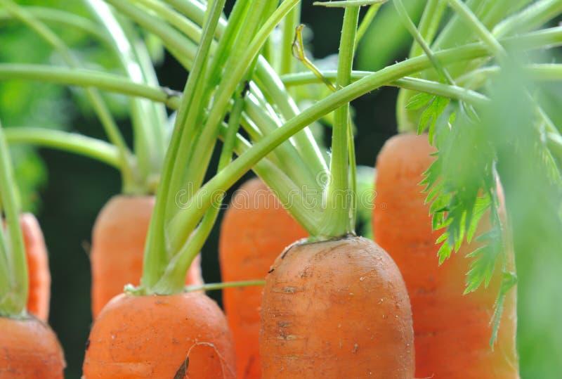 Моркови в саде стоковые фотографии rf